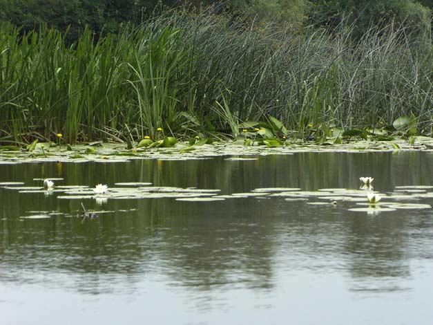 Кувшинки и кубышки на реке Дон
